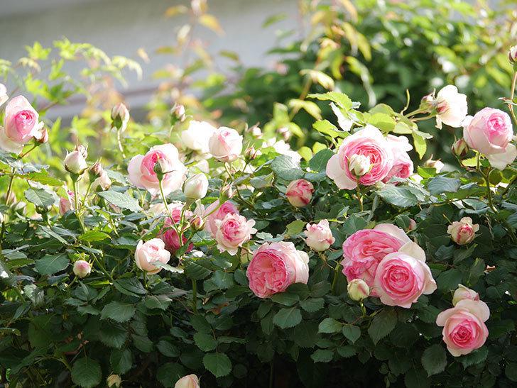 ピエール・ドゥ・ロンサール(Pierre de Ronsard)の花がたくさん咲いた。ツルバラ。2021年-087.jpg