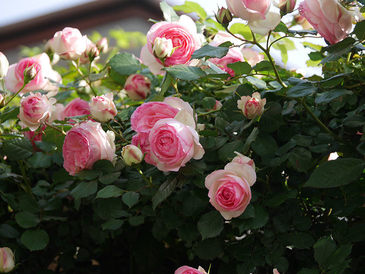 ピエール・ドゥ・ロンサール(Pierre de Ronsard)の花がたくさん咲いた。ツルバラ。2021年-089.jpg