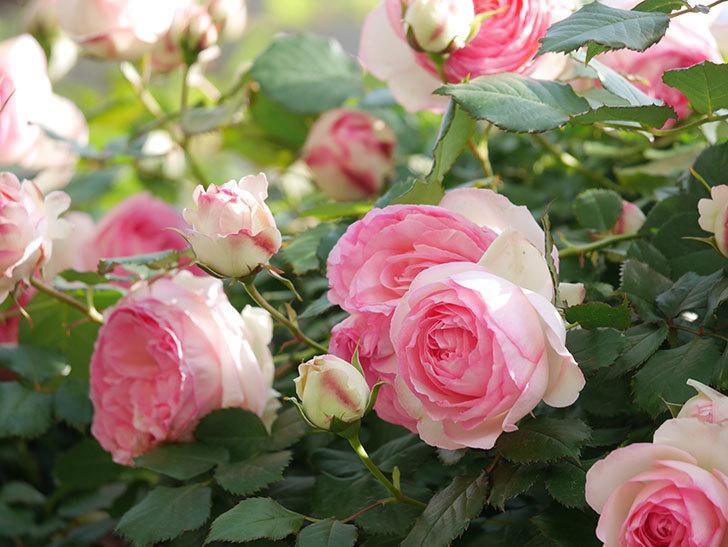 ピエール・ドゥ・ロンサール(Pierre de Ronsard)の花がたくさん咲いた。ツルバラ。2021年-090.jpg