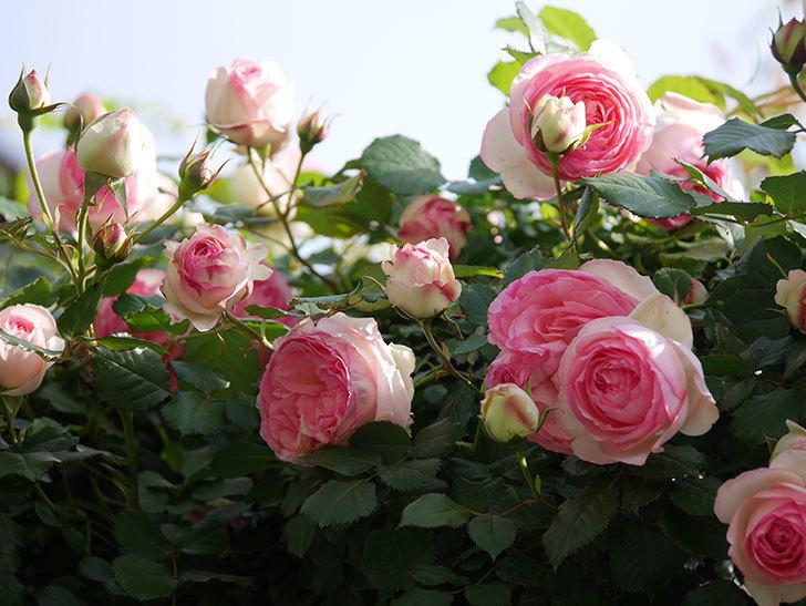 ピエール・ドゥ・ロンサール(Pierre de Ronsard)の花がたくさん咲いた。ツルバラ。2021年-091.jpg