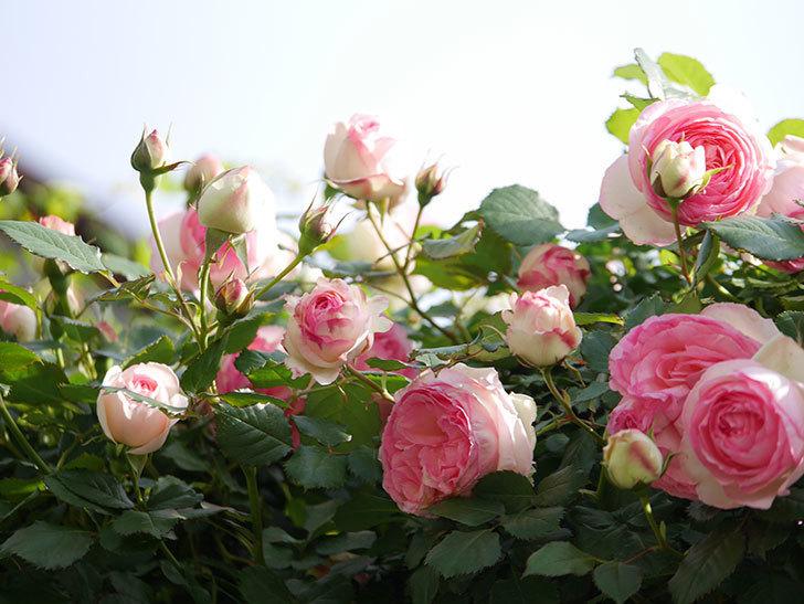 ピエール・ドゥ・ロンサール(Pierre de Ronsard)の花がたくさん咲いた。ツルバラ。2021年-092.jpg