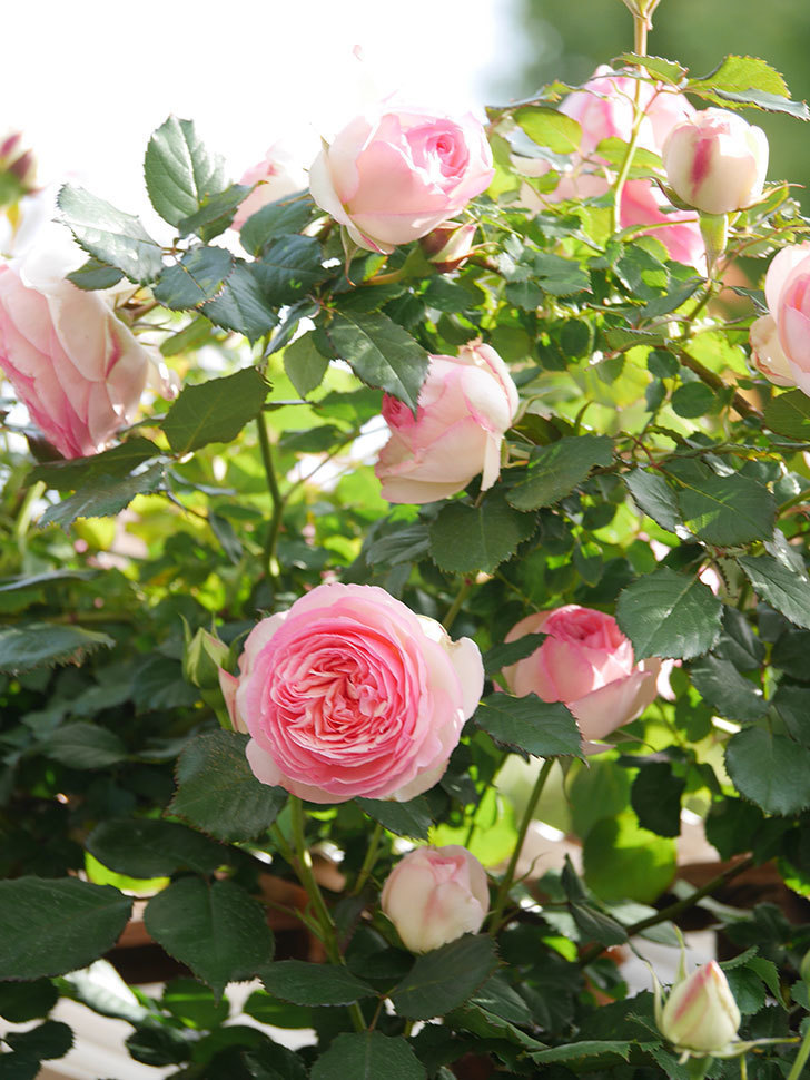 ピエール・ドゥ・ロンサール(Pierre de Ronsard)の花がたくさん咲いた。ツルバラ。2021年-093.jpg