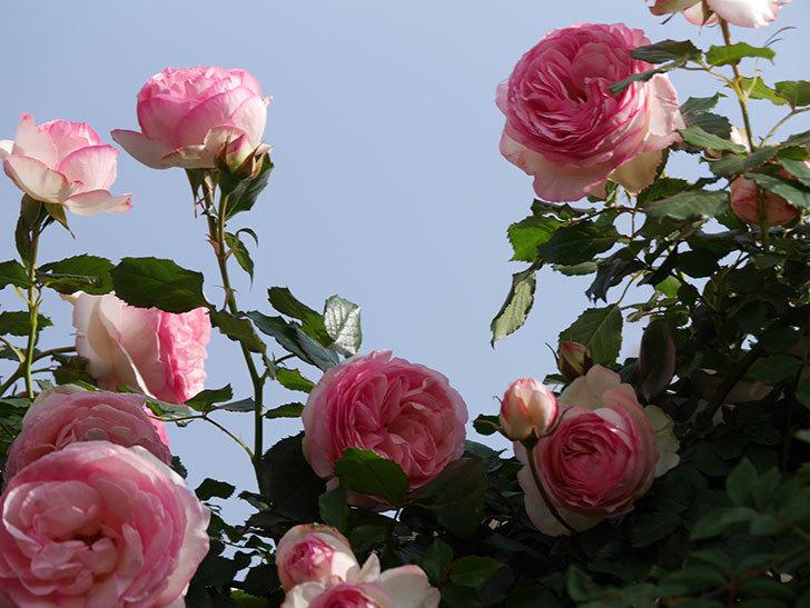 ピエール・ドゥ・ロンサール(Pierre de Ronsard)の花がたくさん咲いた。ツルバラ。2021年-095.jpg