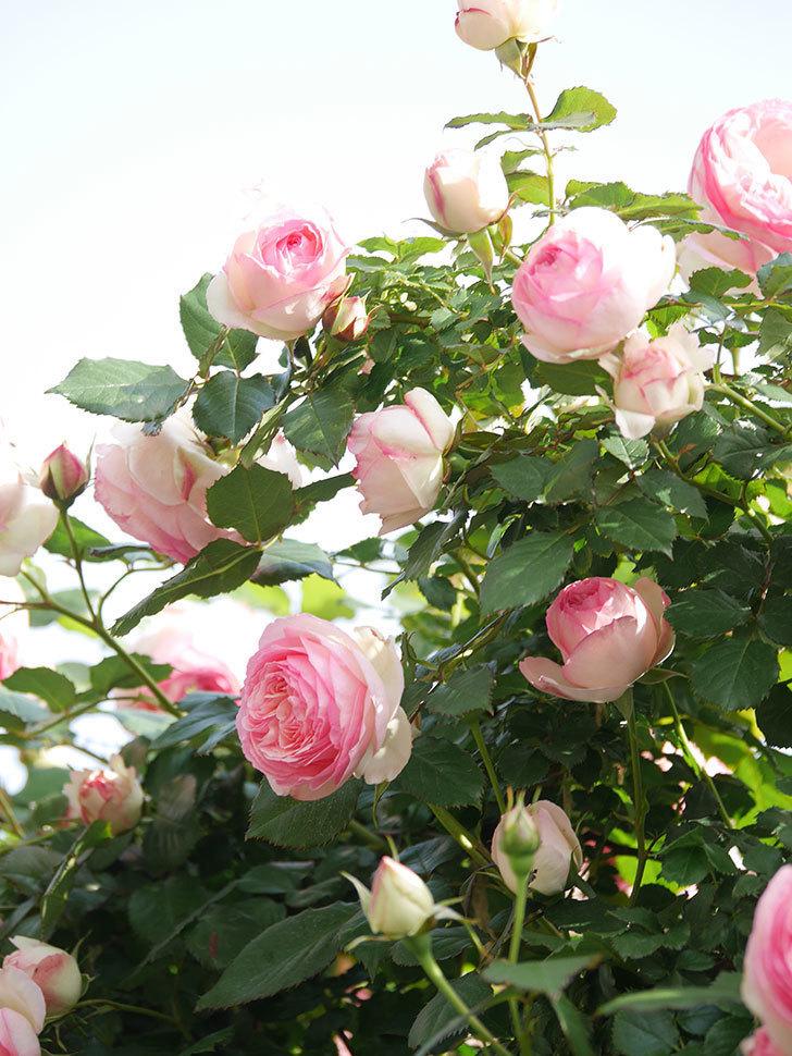 ピエール・ドゥ・ロンサール(Pierre de Ronsard)の花がたくさん咲いた。ツルバラ。2021年-096.jpg