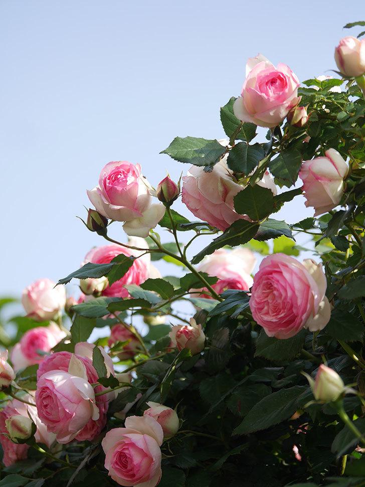 ピエール・ドゥ・ロンサール(Pierre de Ronsard)の花がたくさん咲いた。ツルバラ。2021年-097.jpg