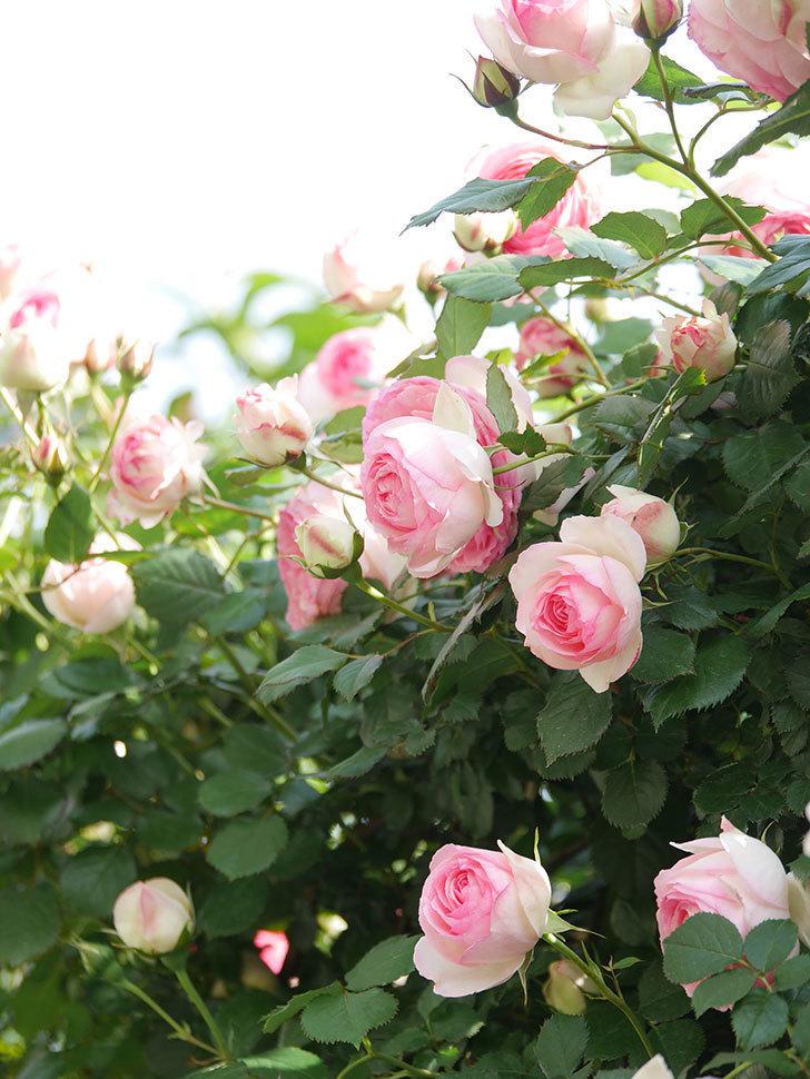 ピエール・ドゥ・ロンサール(Pierre de Ronsard)の花がたくさん咲いた。ツルバラ。2021年-098.jpg
