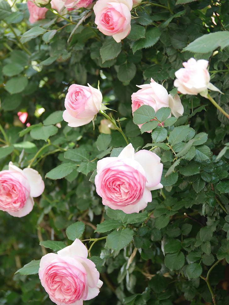 ピエール・ドゥ・ロンサール(Pierre de Ronsard)の花がたくさん咲いた。ツルバラ。2021年-099.jpg