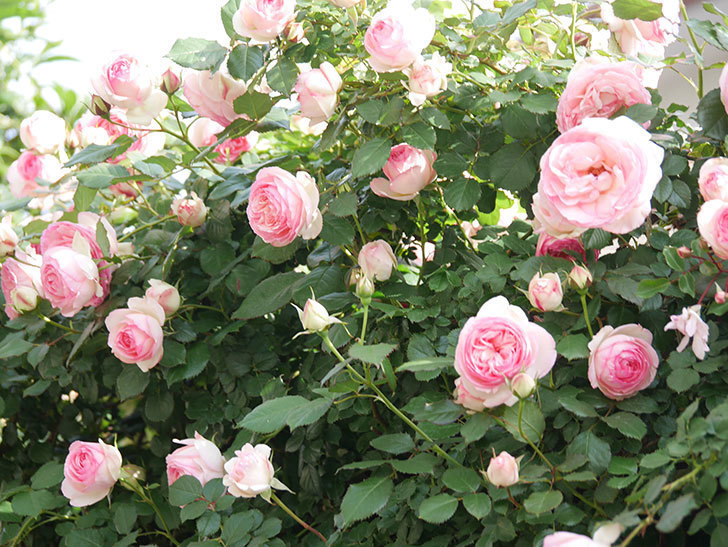 ピエール・ドゥ・ロンサール(Pierre de Ronsard)の花がたくさん咲いた。ツルバラ。2021年-100.jpg
