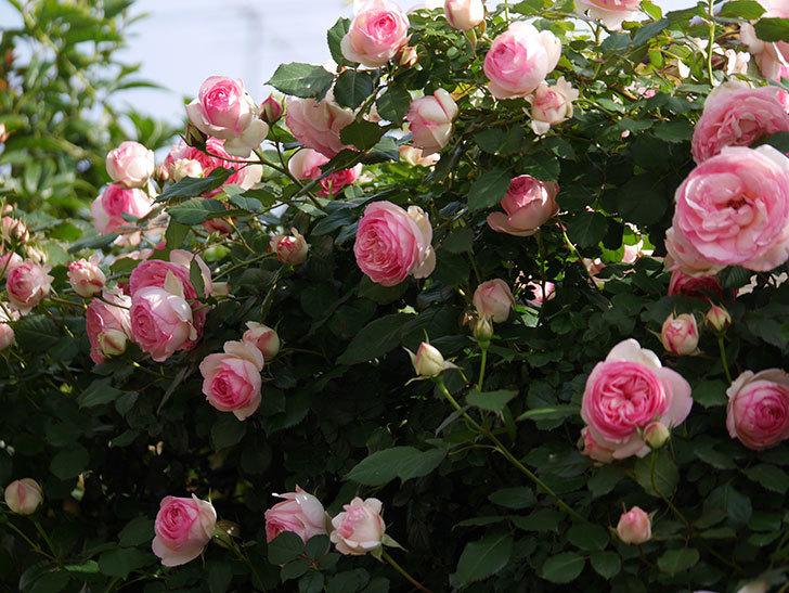 ピエール・ドゥ・ロンサール(Pierre de Ronsard)の花がたくさん咲いた。ツルバラ。2021年-101.jpg