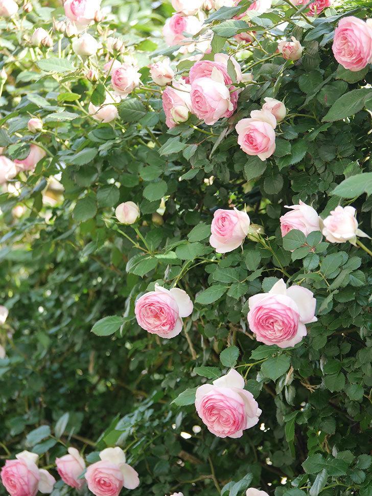 ピエール・ドゥ・ロンサール(Pierre de Ronsard)の花がたくさん咲いた。ツルバラ。2021年-103.jpg