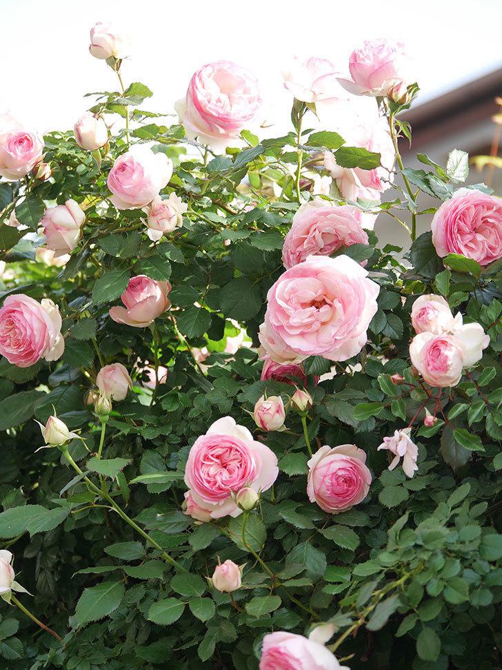 ピエール・ドゥ・ロンサール(Pierre de Ronsard)の花がたくさん咲いた。ツルバラ。2021年-104.jpg