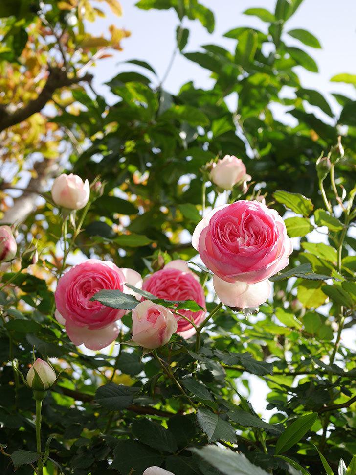 ピエール・ドゥ・ロンサール(Pierre de Ronsard)の花がたくさん咲いた。ツルバラ。2021年-105.jpg