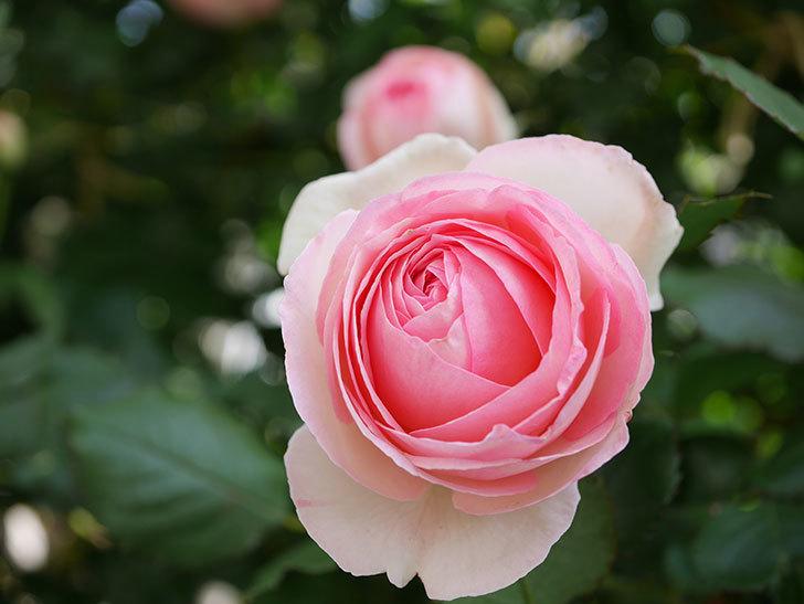 ピエール・ドゥ・ロンサール(Pierre de Ronsard)の花がたくさん咲いた。ツルバラ。2021年-106.jpg