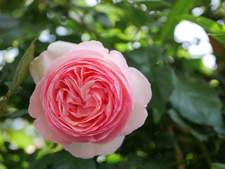 ピエール・ドゥ・ロンサール(Pierre de Ronsard)の花がたくさん咲いた。ツルバラ。2021年-107.jpg