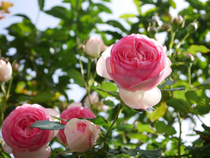 ピエール・ドゥ・ロンサール(Pierre de Ronsard)の花がたくさん咲いた。ツルバラ。2021年-108.jpg