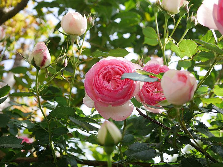 ピエール・ドゥ・ロンサール(Pierre de Ronsard)の花がたくさん咲いた。ツルバラ。2021年-109.jpg