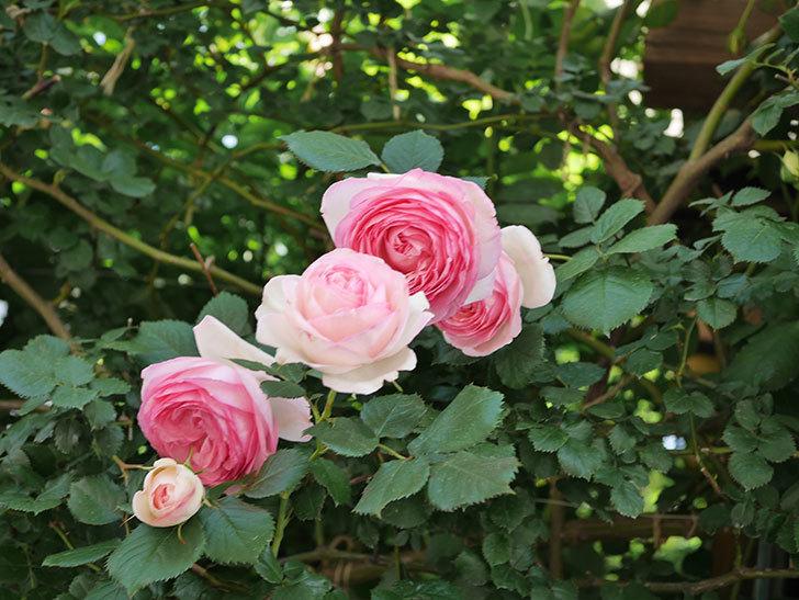 ピエール・ドゥ・ロンサール(Pierre de Ronsard)の花がたくさん咲いた。ツルバラ。2021年-110.jpg