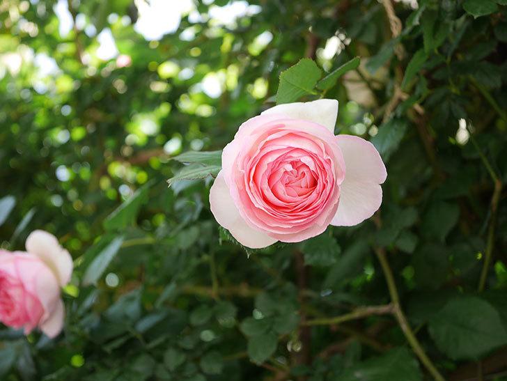 ピエール・ドゥ・ロンサール(Pierre de Ronsard)の花がたくさん咲いた。ツルバラ。2021年-111.jpg
