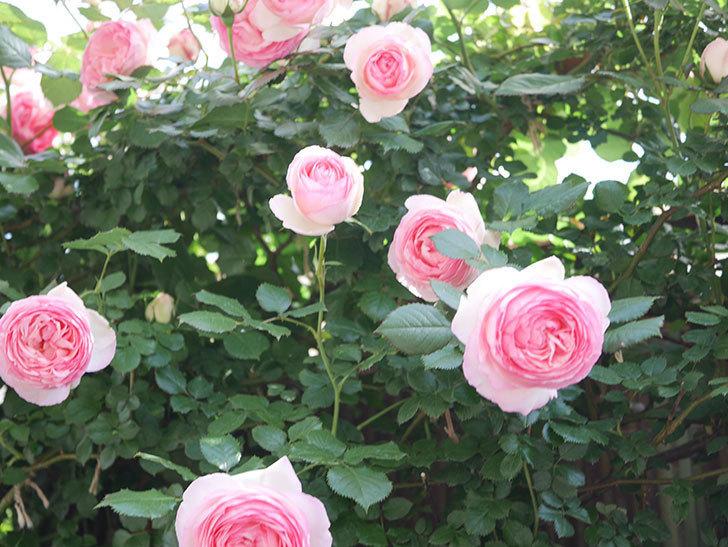ピエール・ドゥ・ロンサール(Pierre de Ronsard)の花がたくさん咲いた。ツルバラ。2021年-112.jpg