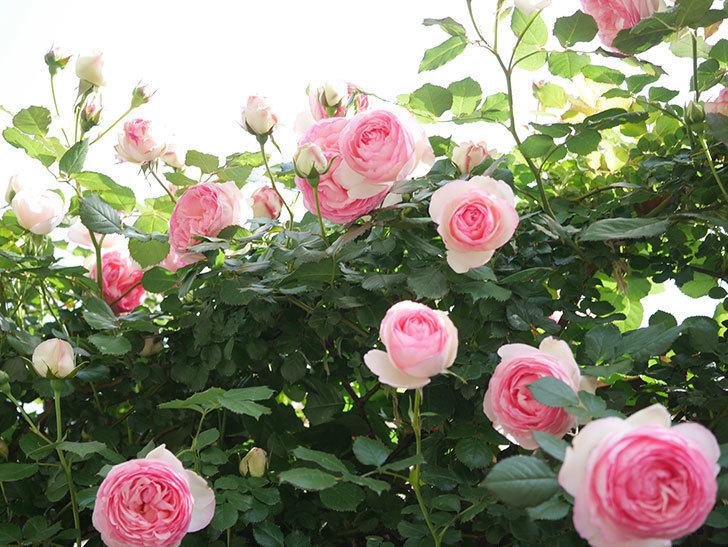 ピエール・ドゥ・ロンサール(Pierre de Ronsard)の花がたくさん咲いた。ツルバラ。2021年-113.jpg