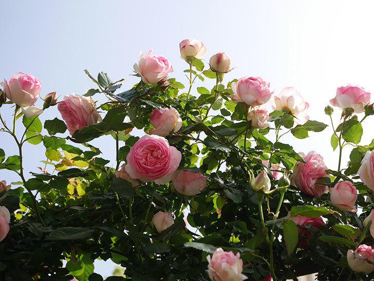 ピエール・ドゥ・ロンサール(Pierre de Ronsard)の花がたくさん咲いた。ツルバラ。2021年-114.jpg
