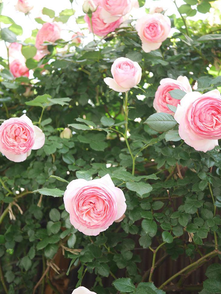 ピエール・ドゥ・ロンサール(Pierre de Ronsard)の花がたくさん咲いた。ツルバラ。2021年-115.jpg