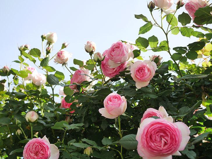 ピエール・ドゥ・ロンサール(Pierre de Ronsard)の花がたくさん咲いた。ツルバラ。2021年-116.jpg
