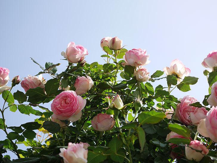 ピエール・ドゥ・ロンサール(Pierre de Ronsard)の花がたくさん咲いた。ツルバラ。2021年-117.jpg