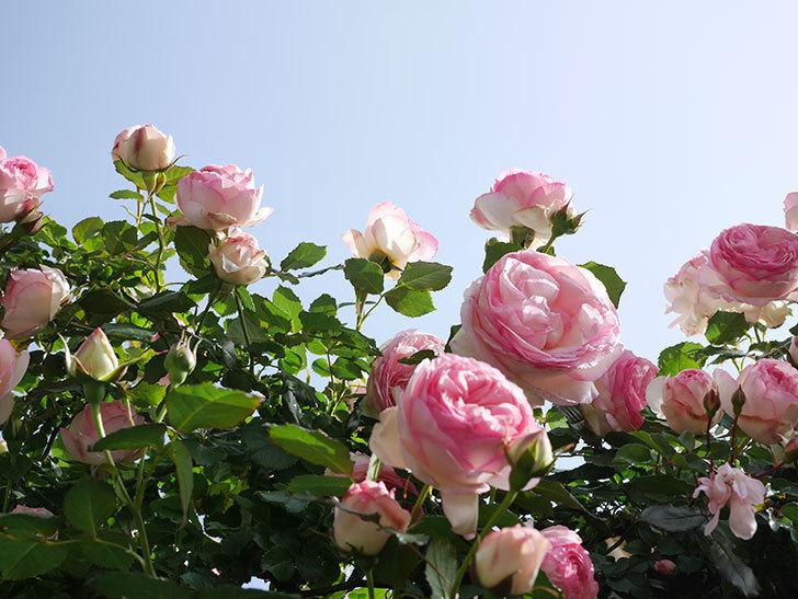 ピエール・ドゥ・ロンサール(Pierre de Ronsard)の花がたくさん咲いた。ツルバラ。2021年-118.jpg
