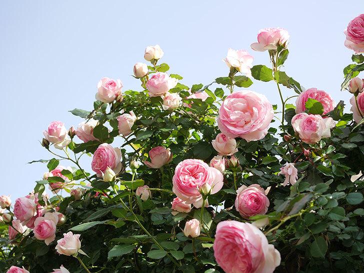 ピエール・ドゥ・ロンサール(Pierre de Ronsard)の花がたくさん咲いた。ツルバラ。2021年-119.jpg
