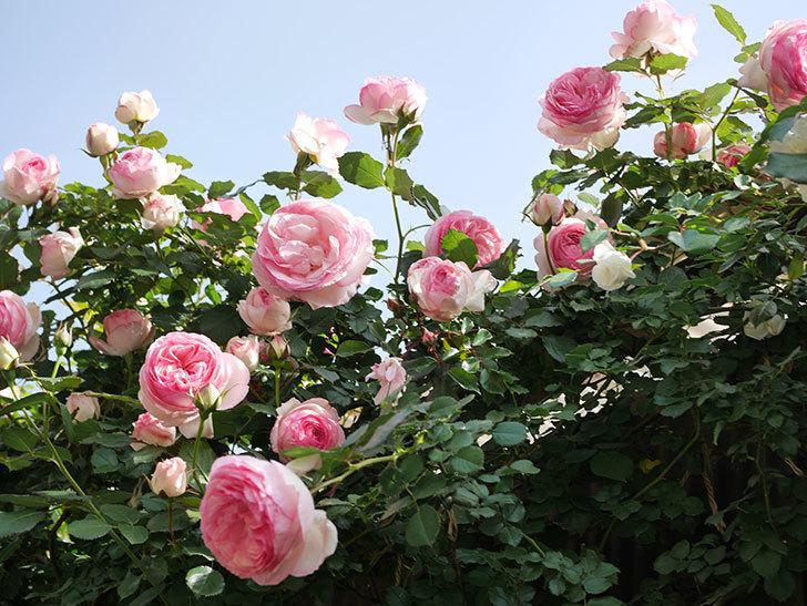 ピエール・ドゥ・ロンサール(Pierre de Ronsard)の花がたくさん咲いた。ツルバラ。2021年-120.jpg