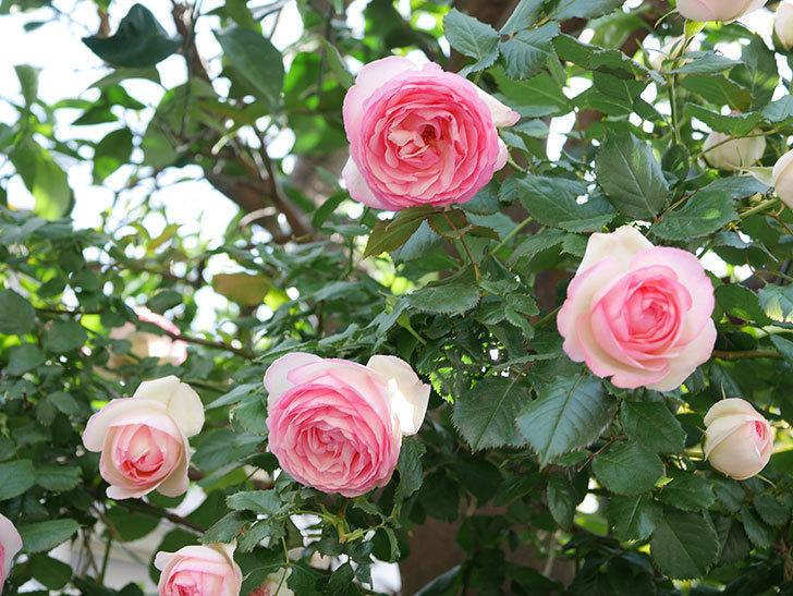 ピエール・ドゥ・ロンサール(Pierre de Ronsard)の花がたくさん咲いた。ツルバラ。2021年-121.jpg