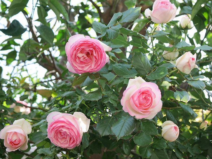 ピエール・ドゥ・ロンサール(Pierre de Ronsard)の花がたくさん咲いた。ツルバラ。2021年-123.jpg