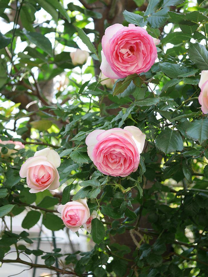 ピエール・ドゥ・ロンサール(Pierre de Ronsard)の花がたくさん咲いた。ツルバラ。2021年-125.jpg