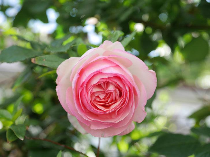 ピエール・ドゥ・ロンサール(Pierre de Ronsard)の花がたくさん咲いた。ツルバラ。2021年-126.jpg