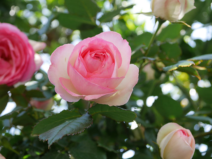 ピエール・ドゥ・ロンサール(Pierre de Ronsard)の花がたくさん咲いた。ツルバラ。2021年-127.jpg