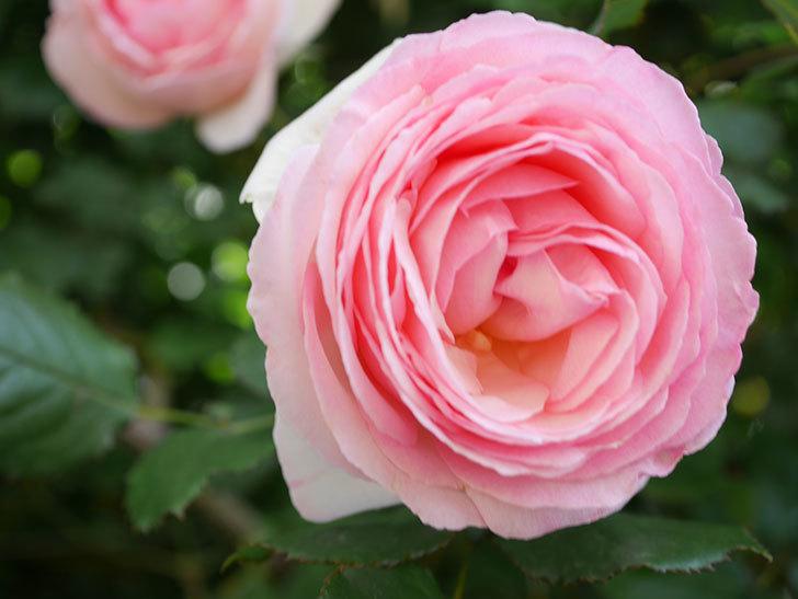 ピエール・ドゥ・ロンサール(Pierre de Ronsard)の花がたくさん咲いた。ツルバラ。2021年-128.jpg