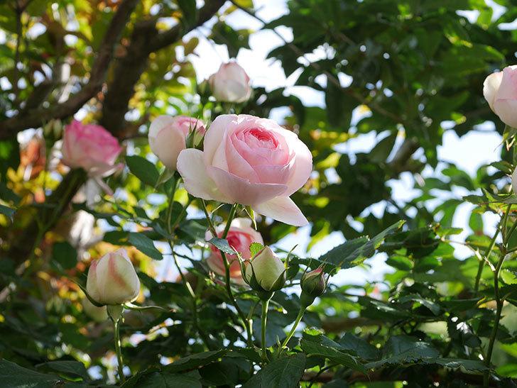 ピエール・ドゥ・ロンサール(Pierre de Ronsard)の花がたくさん咲いた。ツルバラ。2021年-129.jpg