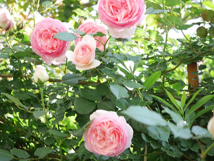ピエール・ドゥ・ロンサール(Pierre de Ronsard)の花がたくさん咲いた。ツルバラ。2021年-130.jpg