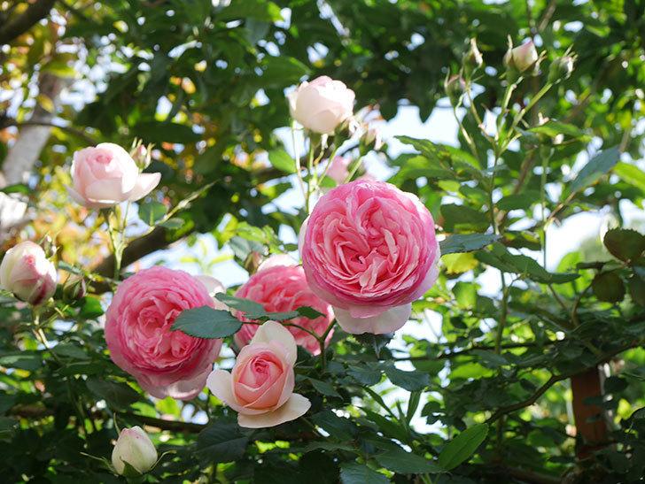 ピエール・ドゥ・ロンサール(Pierre de Ronsard)の花がたくさん咲いた。ツルバラ。2021年-131.jpg