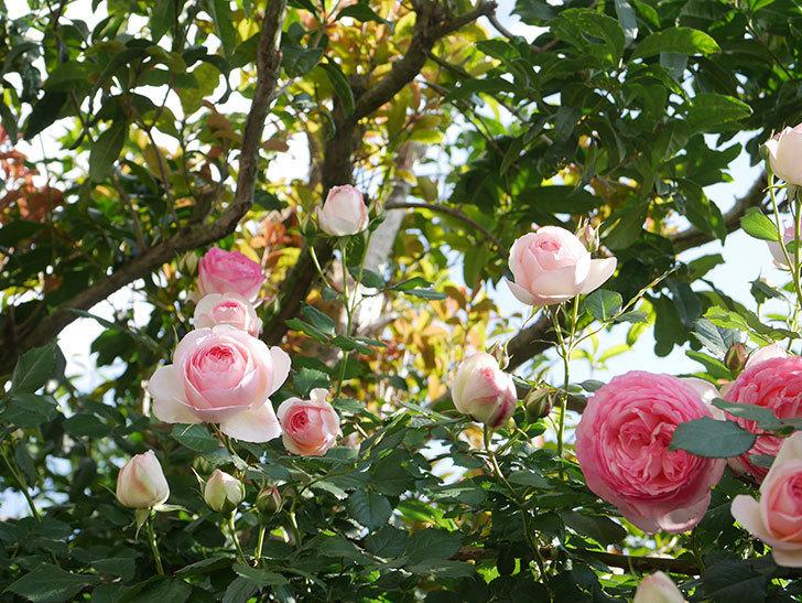 ピエール・ドゥ・ロンサール(Pierre de Ronsard)の花がたくさん咲いた。ツルバラ。2021年-132.jpg