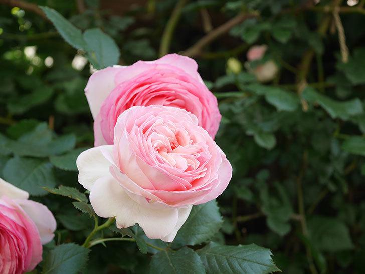 ピエール・ドゥ・ロンサール(Pierre de Ronsard)の花がたくさん咲いた。ツルバラ。2021年-134.jpg