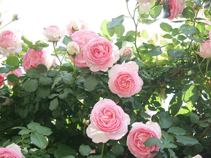 ピエール・ドゥ・ロンサール(Pierre de Ronsard)の花がたくさん咲いた。ツルバラ。2021年-135.jpg