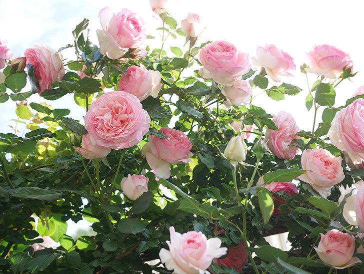 ピエール・ドゥ・ロンサール(Pierre de Ronsard)の花がたくさん咲いた。ツルバラ。2021年-136.jpg