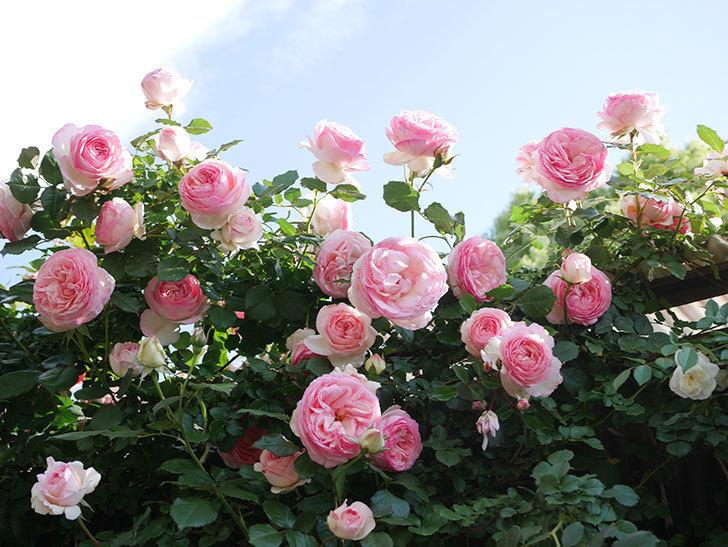 ピエール・ドゥ・ロンサール(Pierre de Ronsard)の花がたくさん咲いた。ツルバラ。2021年-137.jpg