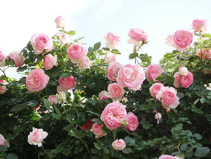 ピエール・ドゥ・ロンサール(Pierre de Ronsard)の花がたくさん咲いた。ツルバラ。2021年-138.jpg