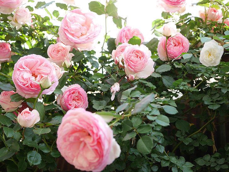 ピエール・ドゥ・ロンサール(Pierre de Ronsard)の花がたくさん咲いた。ツルバラ。2021年-139.jpg