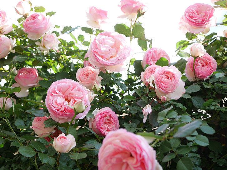 ピエール・ドゥ・ロンサール(Pierre de Ronsard)の花がたくさん咲いた。ツルバラ。2021年-140.jpg