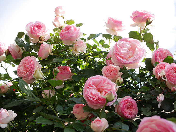 ピエール・ドゥ・ロンサール(Pierre de Ronsard)の花がたくさん咲いた。ツルバラ。2021年-141.jpg