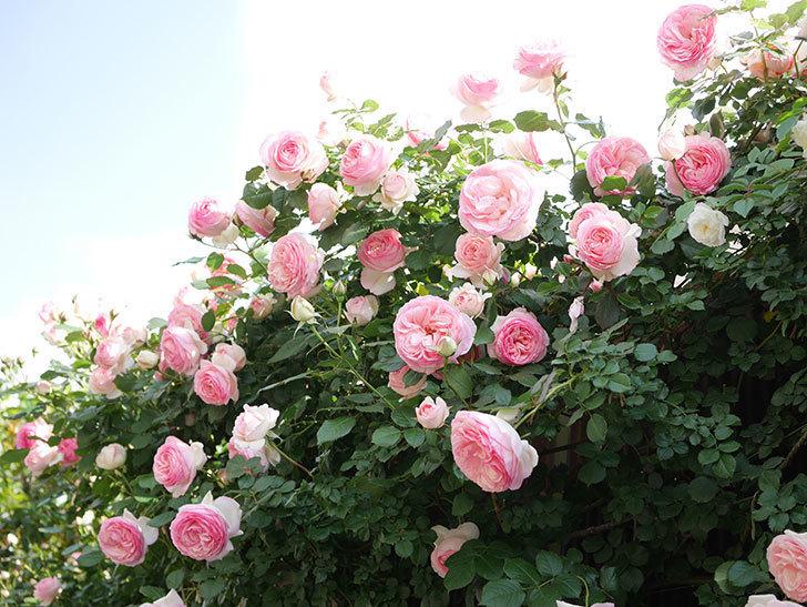 ピエール・ドゥ・ロンサール(Pierre de Ronsard)の花がたくさん咲いた。ツルバラ。2021年-142.jpg